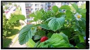 Nasze krzewy poziomek, które wspólnie sadziłam z Szymonem owocują Cudnie!!! :-)